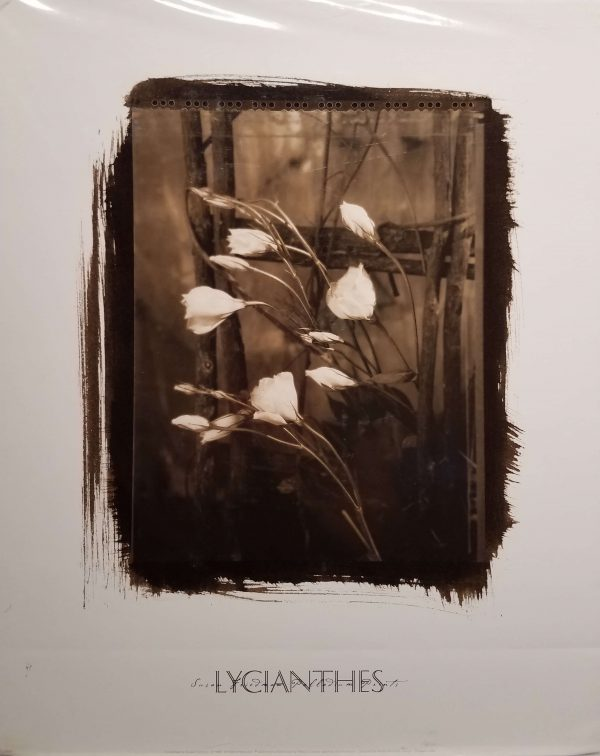 Lycianthes by Susan Friedman