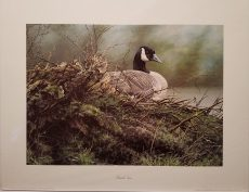 Canada Goose by Alan Hunt