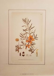 Havtorn hippophae rhamnoides l